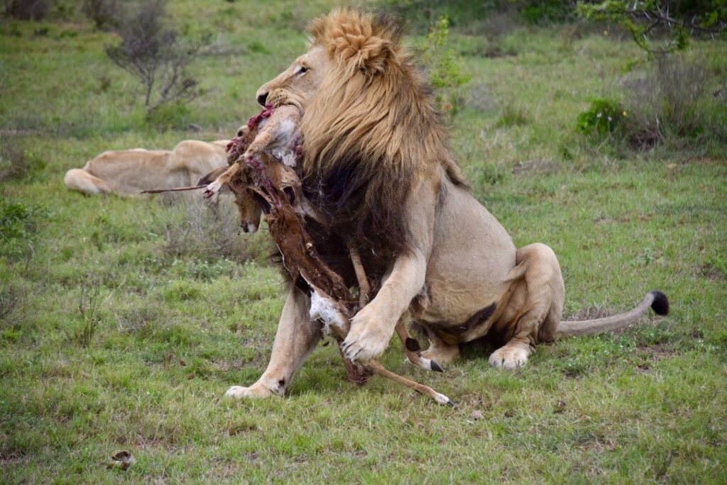 A lion's meal