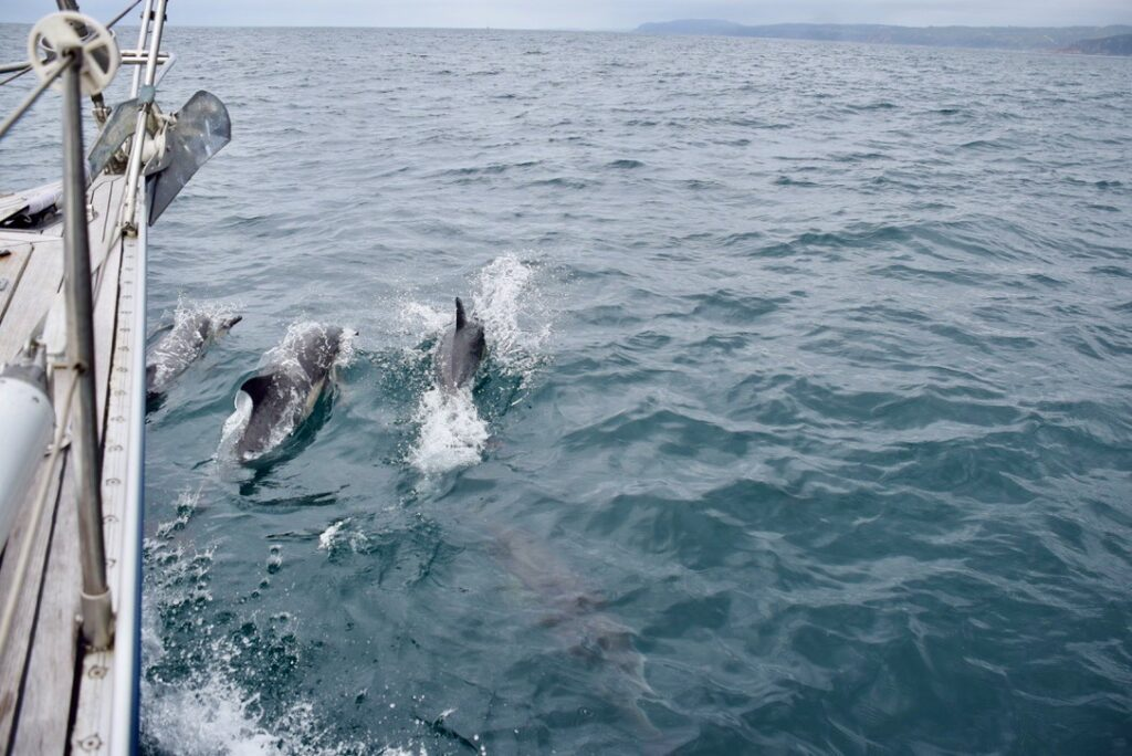 Dolphins have often accompanied our coastal sailing